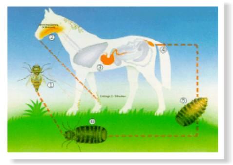 parasito oxiuros en caballos