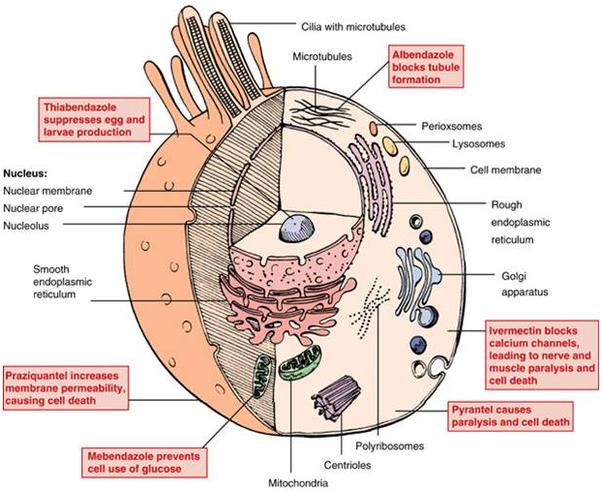 Anthelmintic definition medical terms - Ciuperci oiesti
