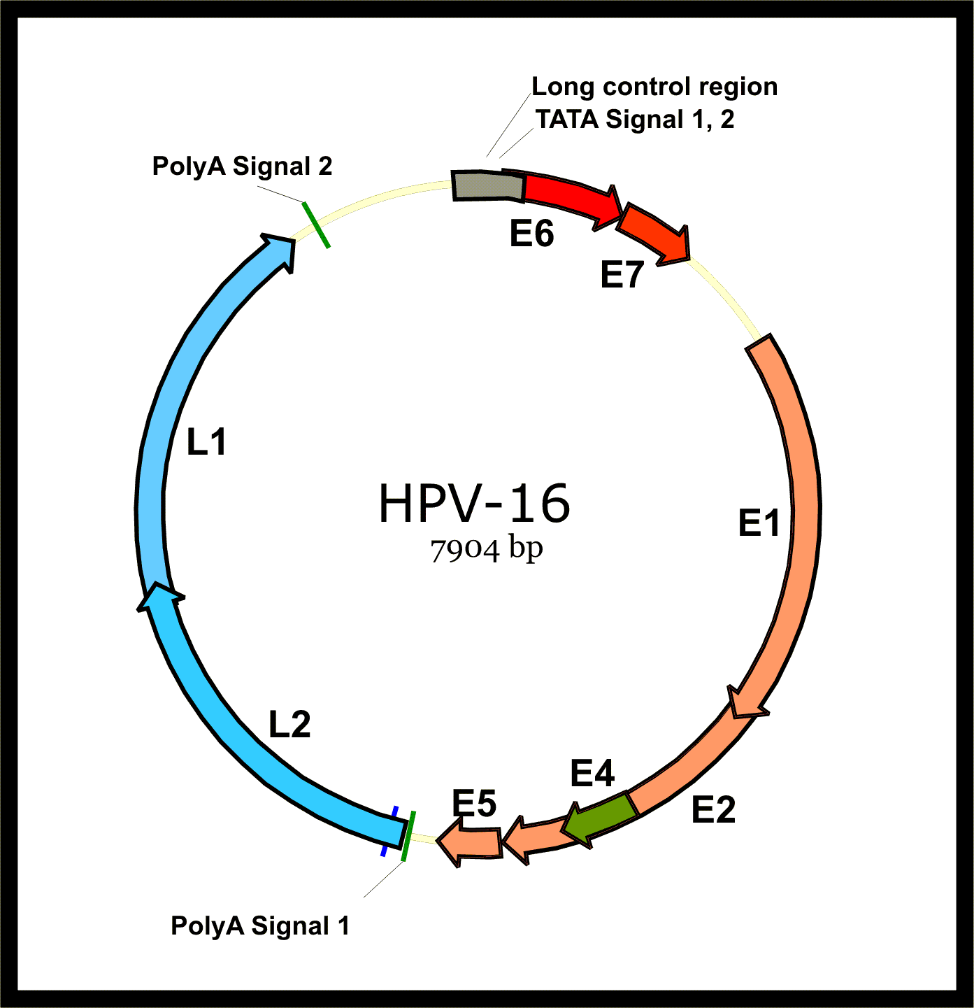 papillomavirus 16 oncoprotein)