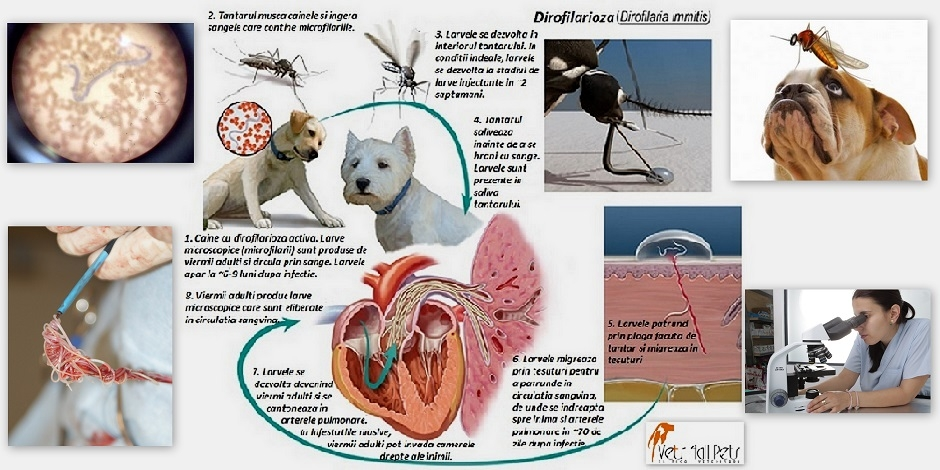 simptome și tratament viermilor inimii)