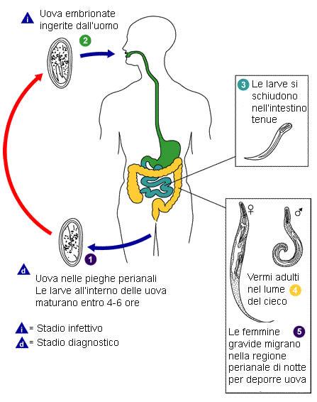enterobius vermicularis ciclo vitale