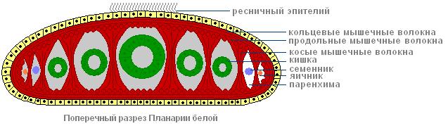 anatomia unui vierme încrucișat feminin