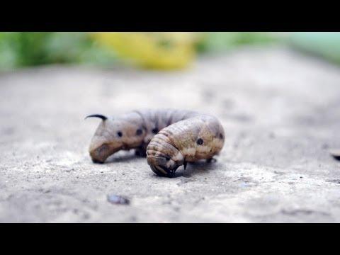 viermii sunt insecte)