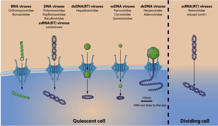 hpv virus dna virus