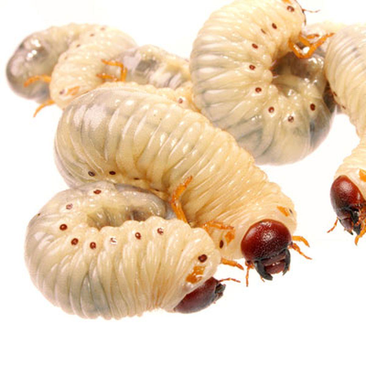 tratament pentru vierme și viermi