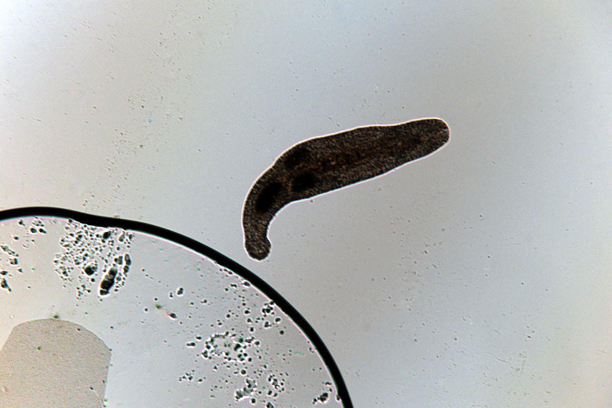 specii mici de vierme