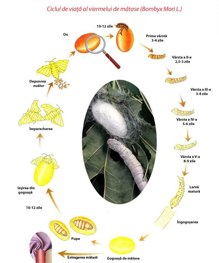 spre viermele oului