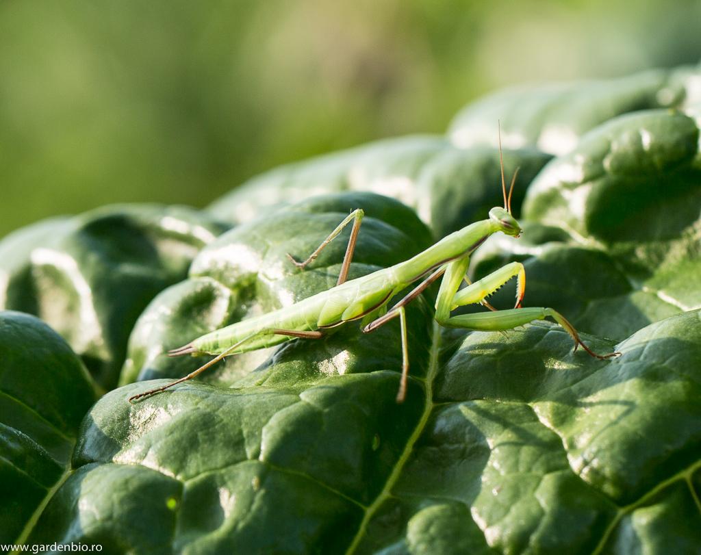 Insecte bune si insecte daunatoare din gradina - Pestre