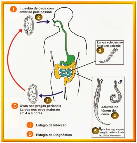 oxiurose ciclo da doenca
