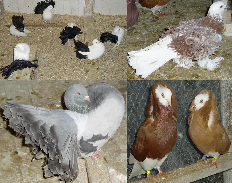 ferguri de porumbei)