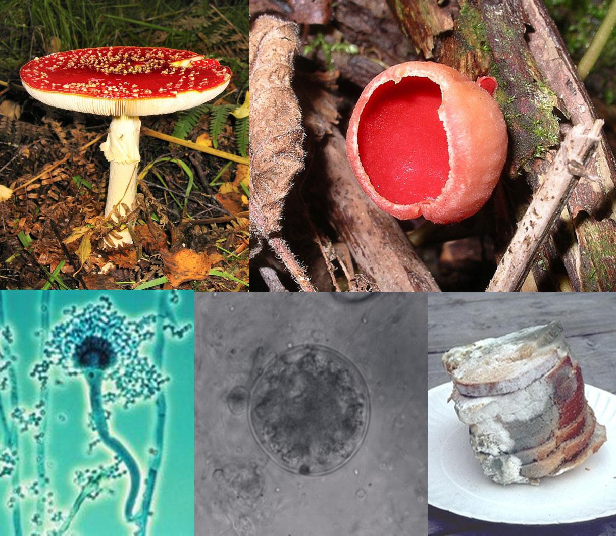 paraziți ai ciupercilor cu virusuri)