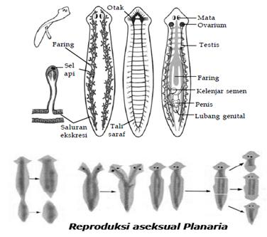 sistem reproduksi filum platyhelminthes