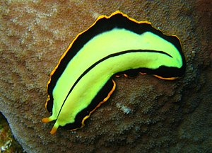 gambar filum platyhelminthes