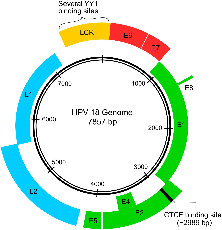 hpv virus diagram tratamentul viermilor creierului