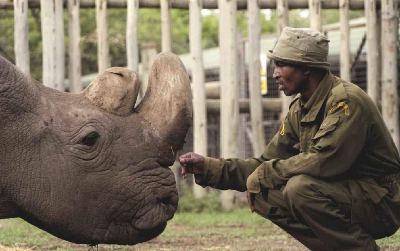 rinocer la oameni pregătire helmint