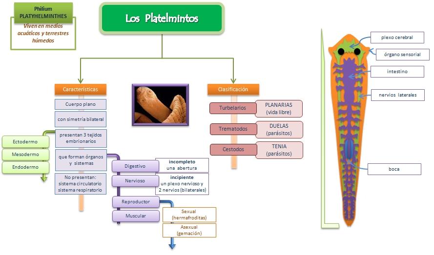 diagrama de platyhelminthes