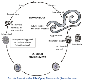 ciclul dezvoltării nematozilor