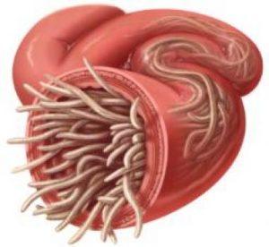 Crijevni paraziti kod djece simptomi Crijevni helminti