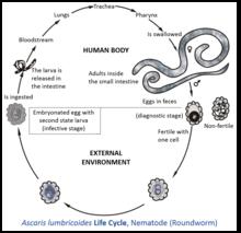 Define helminth medical term - Traducerea «pityriasis» în 25 de limbi