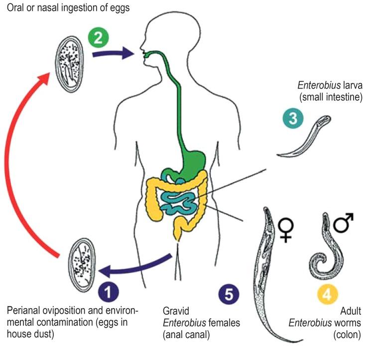 Enterobius vermicularis reproduction, Worms, cum ar fi oxiuri