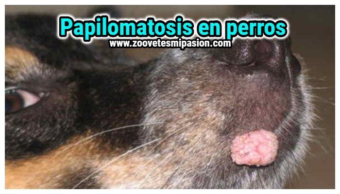 Papiloma canino se transmite a humanos - info-tecuci.ro