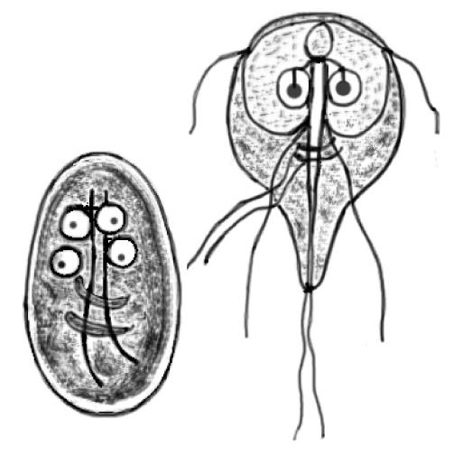 giardia uman tratament paraziti mimosa pudica pudra