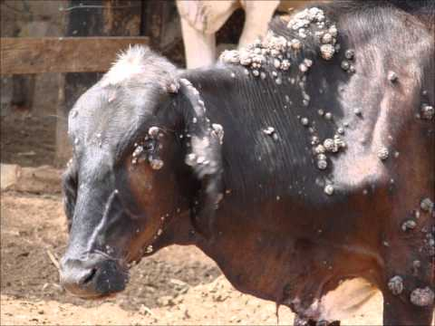 papilomatosis bovina slideshare)