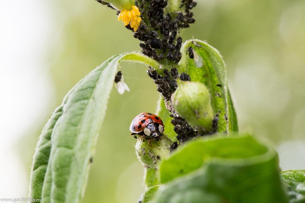 Insectele folositoare pentru gradina