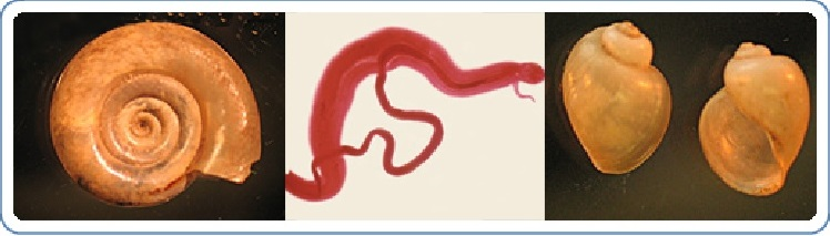 schistosomiasis freshwater snails