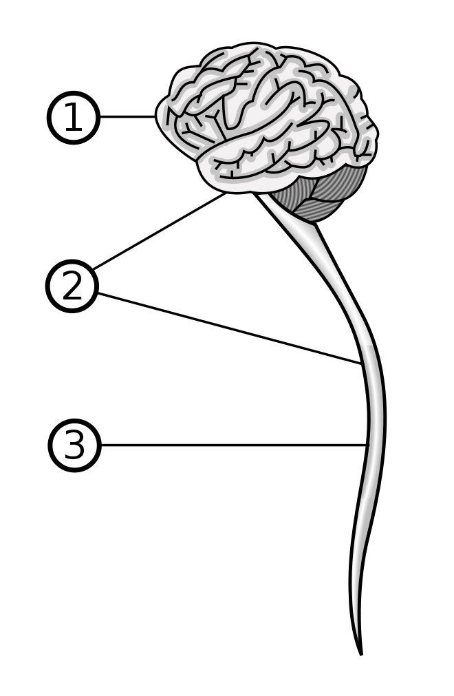 sistemul nervos de vierme diferențe de veruci largi și genitale