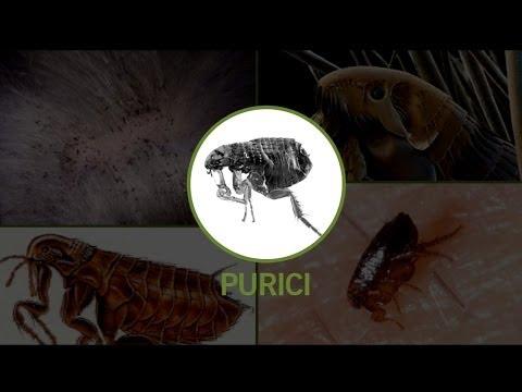 vierme ce miasmă paraziți în corpul uman și tratamentul medicamentos